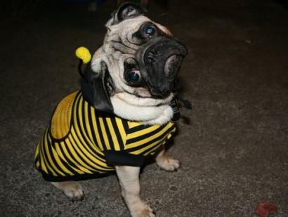 Busy little bee-dog.